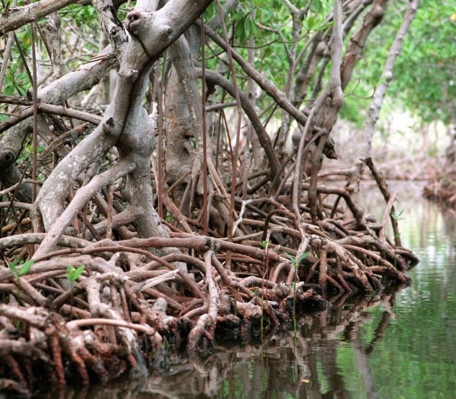El mangle está ubicado cerca de la urbanización Guanajibo Homes (semisquare-x3)