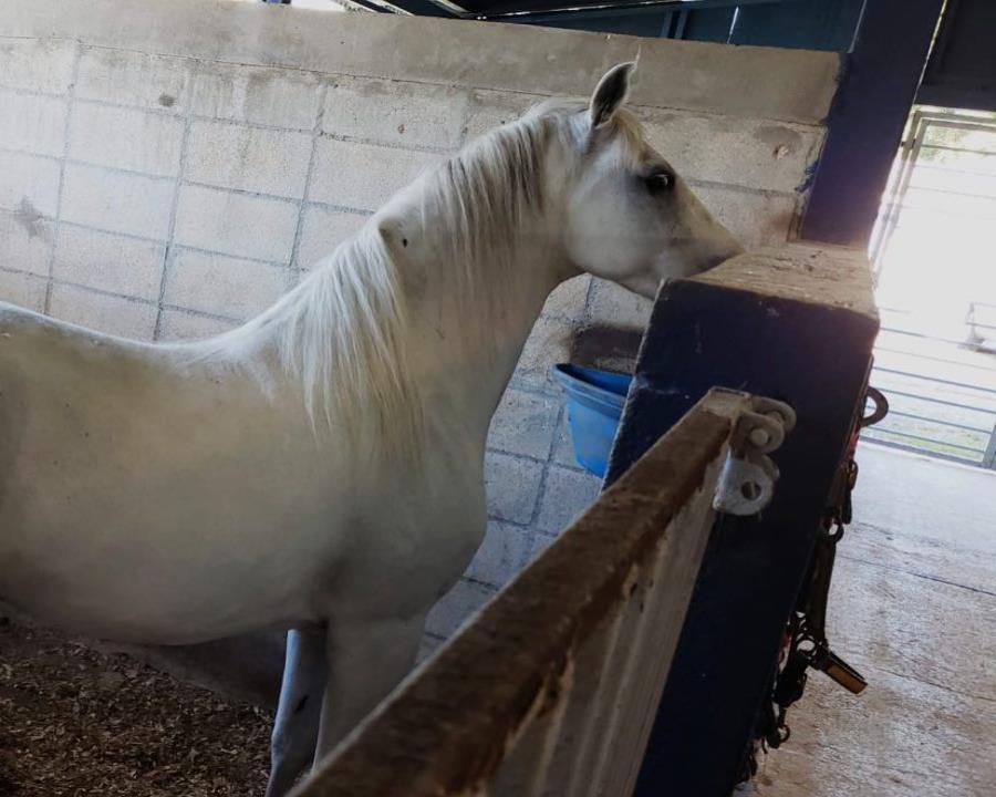 En la foto uno de los caballos de la antigua Unidad Montada de la Policía (semisquare-x3)