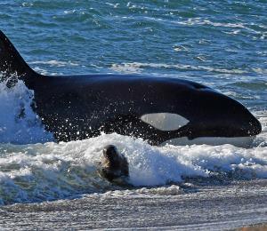 La población de orcas alcanza su nivel más bajo en 30 años