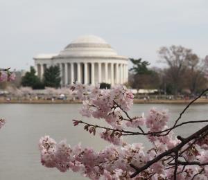 Mira, desde tu casa, cómo florecen los cerezos de Washington DC