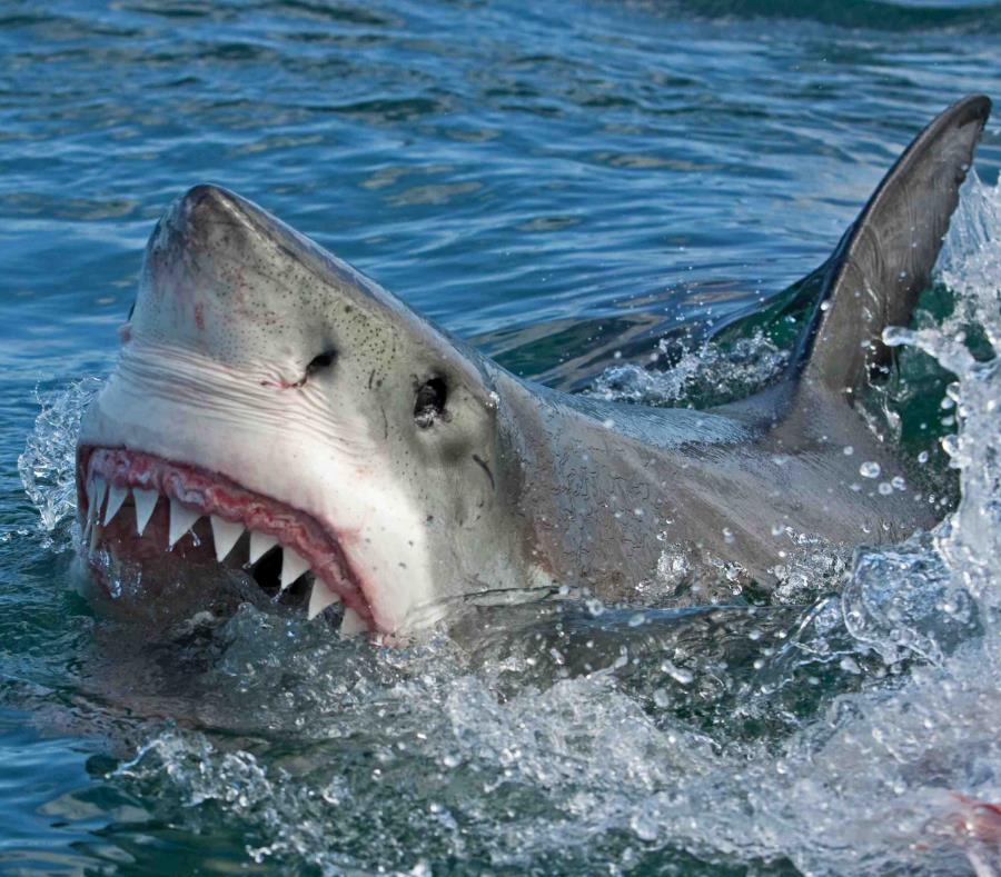 Desaparece turista y encuentran su mano en el estomago de un tiburón