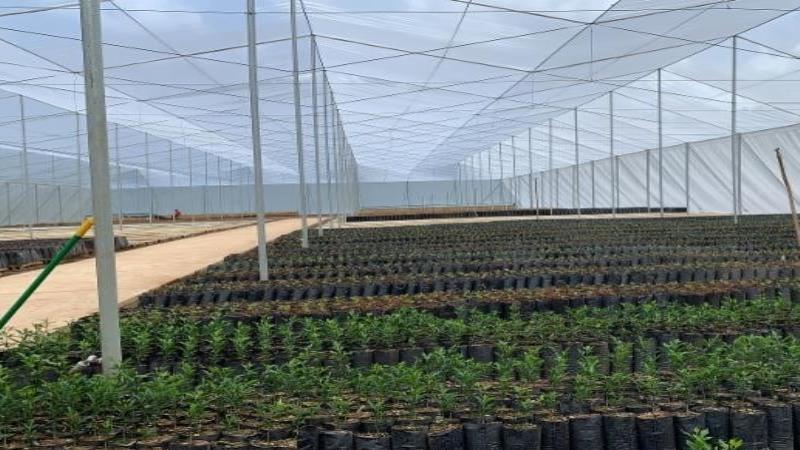 El proyecto dará viabilidad al crecimiento de 100,000 árboles de china y un poco más de 1 millón de árboles de café. (Suministrada) (semisquare-x3)