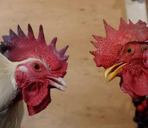 Las peleas de gallos y la estadidad