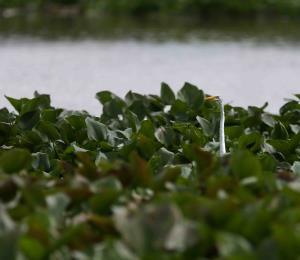 La tragedia de los jacintos