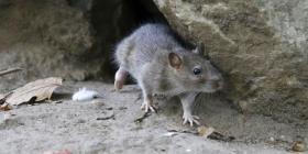 """Ratas del """"tamaño de un gato"""" invaden una ciudad de Nueva Zelanda"""