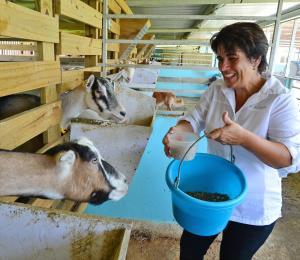 A buen ritmo la producción local de queso de cabra