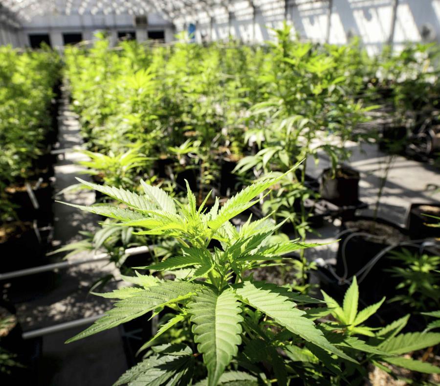 En la imagen se pueden observar plantas de marihuana en el invernadero de Minnesota Medical Solutions en Otsego, Minnesota, el 5 de mayo de 2015. (Glen Stubbe / Star Tribune vía AP) (semisquare-x3)