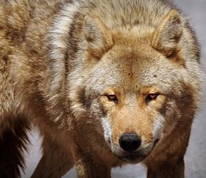 Tiempo de Lobos