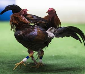 El Congreso ataca la cultura al prohibir las peleas de gallos