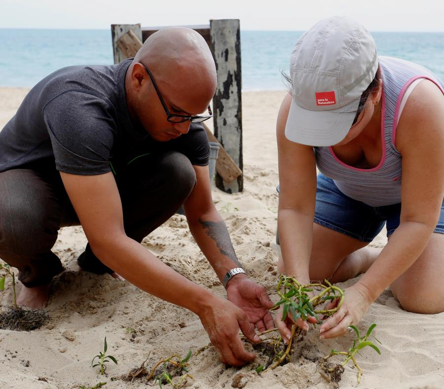 Para la Naturaleza y sus voluntarios han sembrado árboles en áreas naturales protegidas y bosques, pero también en contextos urbanos y costeros, como la playa de Ocean Park, en San Juan. (Suministrada) (semisquare-x3)