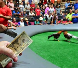 Secretaria del DRD se mostró sorprendida por la prohibición de peleas de gallos