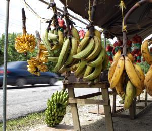 Para septiembre podríamos tener plátano del país