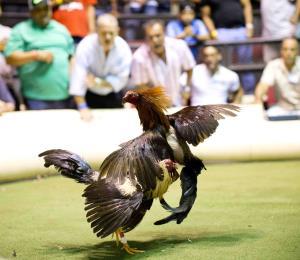 Rosselló abogará ante el Congreso por las peleas de gallos