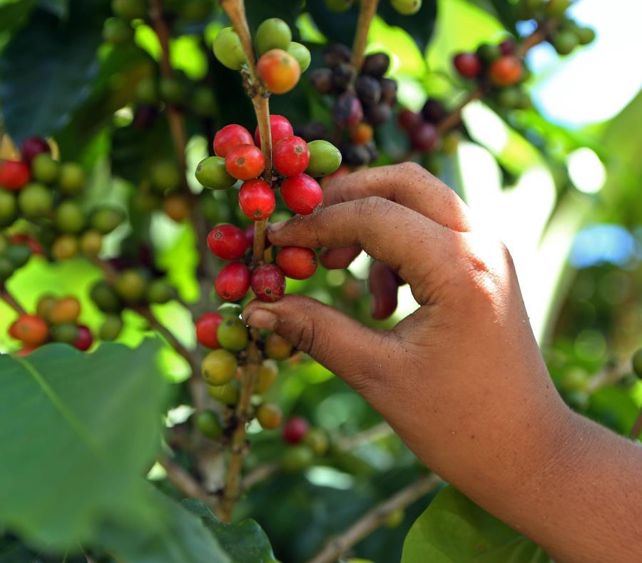 Uno de los sectores más afectados por la falta de trabajadores ha sido el de café, situación que ha retrasado aún más su recuperación. (GFR Media) (semisquare-x3)
