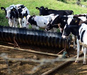 Se agudiza la controversia por el pago de la leche a ganaderos