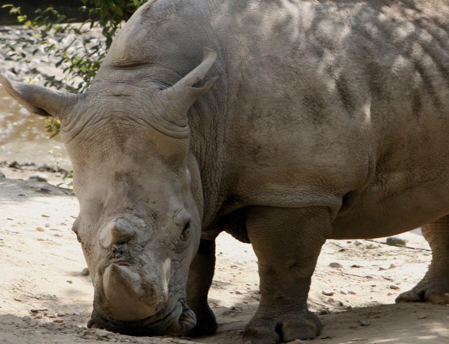 Algunos científicos buscan impedir la desaparición del rinoceronte blanco del norte mediante la fertilización in vitro (semisquare-x3)