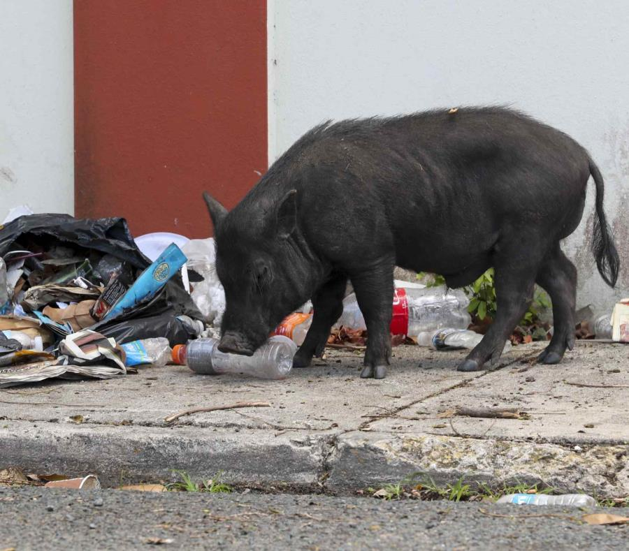 Los cerdos vietnamitas proliferan por las calles de varias comunidades de Santurce y otras zonas del país. (GFR Media) (semisquare-x3)