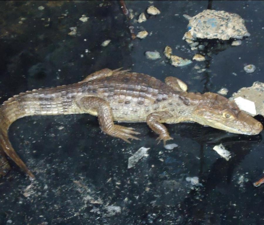 La mujer tenía un pequeño caimán de un pie de largo. (GFR Media) (semisquare-x3)
