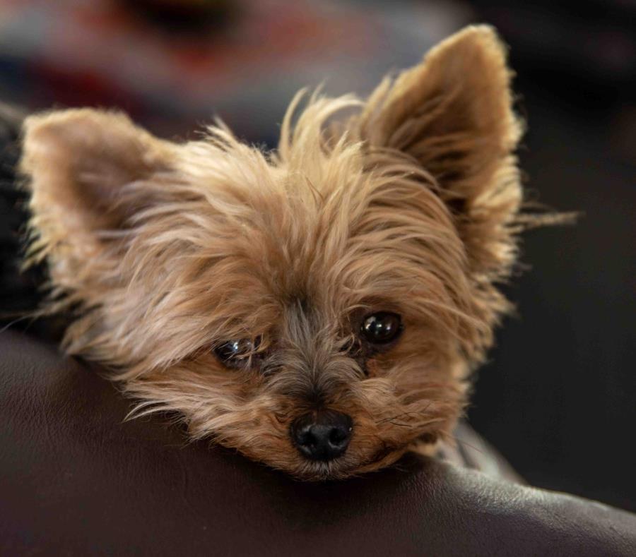 El can era un Yorkie. (semisquare-x3)