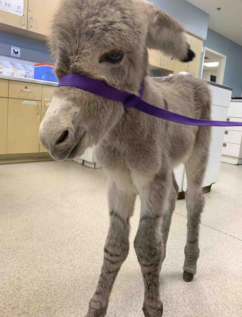 Una vez que se recupere y crezca un poco, podrían ofrecerlo en adopción. (Departamento de Servicios Animales del condado de Riverside vía AP) (vertical-x1)