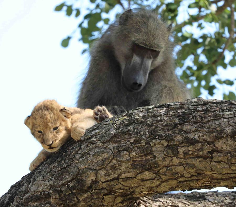 Babuino se roba un cachorro de león