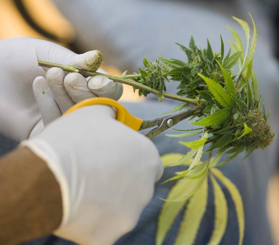 Alrededor de dos tercios de los estados permiten el uso terapéutico de la marihuana (semisquare-x3)