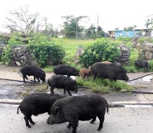 Cerdos vietnamitas en el Martín Peña