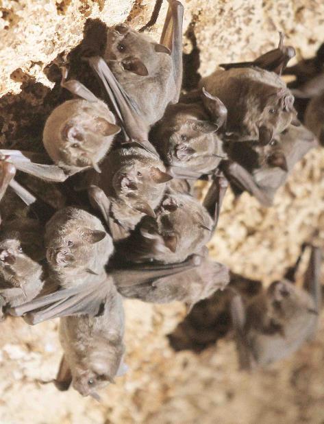 murciélagos (vertical-x1)