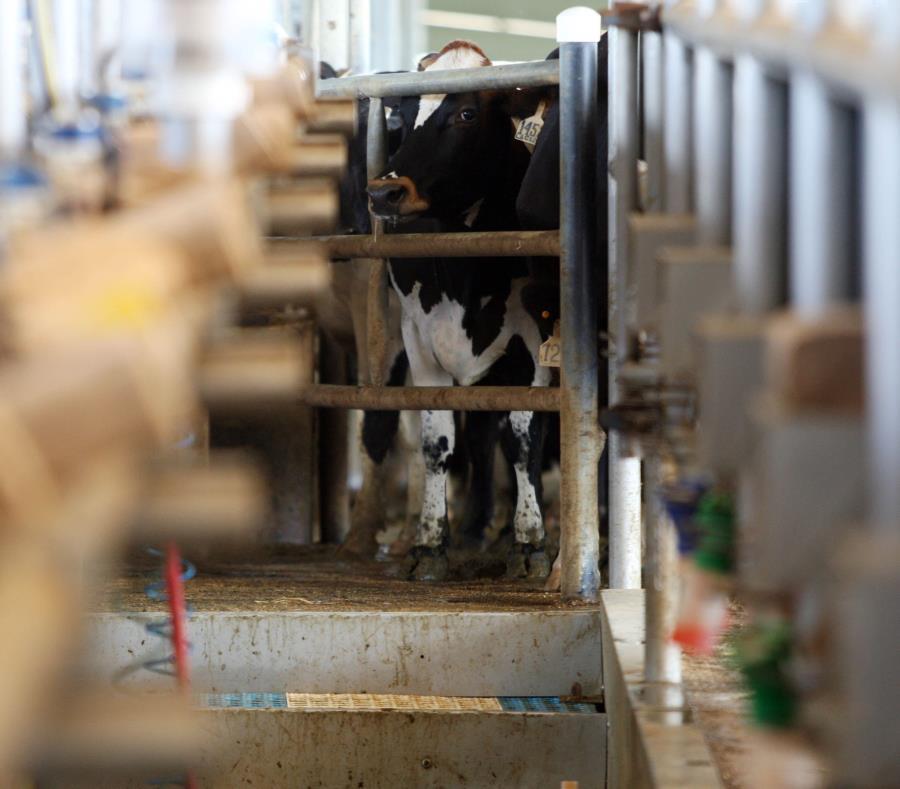 """Según la coooperativa, Suiza Dairy ha decretado """"cinco cierres"""" de su planta en Aguadilla para elaborar productos no lácteos (semisquare-x3)"""