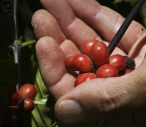 Tribunal federal ordena a Agricultura no interferir con la importación de semillas de café