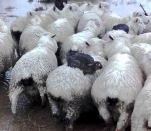 Tres conejos huyen de una crecida colocándose sobre los lomos de ovejas