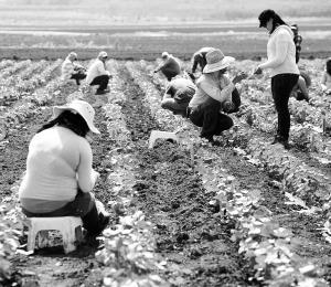 La industria algodonera en Puerto Rico