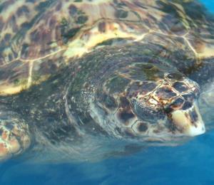 El cambio climático disminuiría la población de tortugas marinas