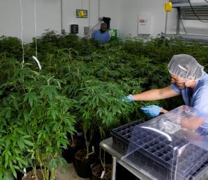 Bancos podrían servir al sector del cannabis
