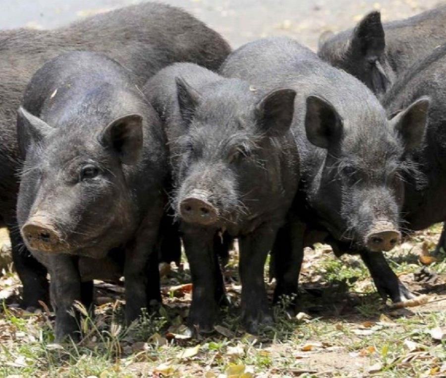 cerdos (semisquare-x3)