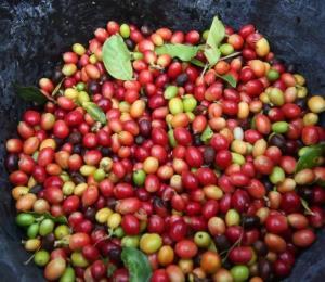 Departamento de Agricultura espera 20 mil quintales de café